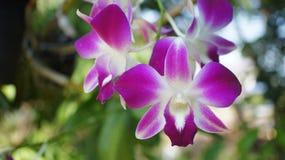 Fleurs d'orchidée de Dendrobium Photographie stock