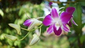 Fleurs d'orchidée de Dendrobium Images libres de droits