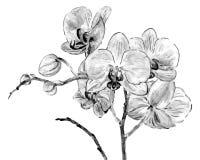Fleurs d'orchidée de dessin de main Photo libre de droits