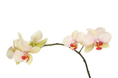 Fleurs d'orchidée de mite image stock