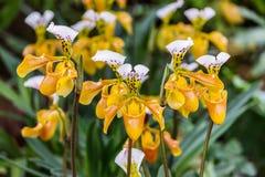 Fleurs d'orchidée de Paphiopedilum Images stock