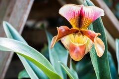 Fleurs d'orchidée de Paphiopedilum de Chiang Mai, Thaïlande Photos libres de droits