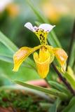 Fleurs d'orchidée de Paphiopedilum de Chiang Mai Thailand, Photo libre de droits