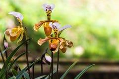 Fleurs d'orchidée de Paphiopedilum de Chiang Mai Thailand, Photo stock