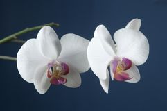 Fleurs d'orchidée de Phalaenopsis Image libre de droits