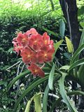 Fleurs d'orchidée de Vanda Photos libres de droits