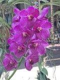 Fleurs d'orchidée de Vanda Photo stock