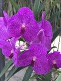 Fleurs d'orchidée de Vanda Images stock