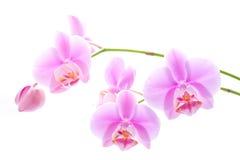 Fleurs d'orchidée sur le blanc Photo libre de droits