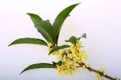 Fleurs d'Osmanthus Images libres de droits