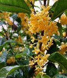 Fleurs d'Osmanthus Photo stock