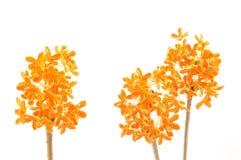 Fleurs d'osmanthus doux Photos libres de droits