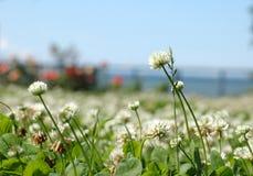 Fleurs d'oxalide petite oseille images libres de droits