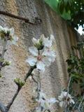 Fleurs d'un arbre d'amande Photos stock