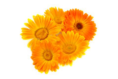 Fleurs d'un calendula Images stock