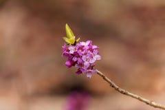 Fleurs d'un daphne de février photos libres de droits