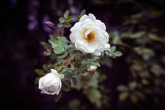 Fleurs d'un dogrose Photo libre de droits