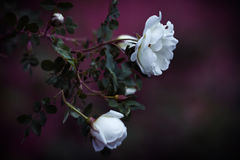 Fleurs d'un dogrose Image stock