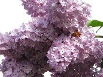 Fleurs d'un lilas Image libre de droits