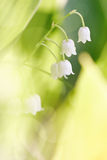 Fleurs d'un muguet culture sauvages Photographie stock