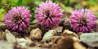 fleurs d'un trèfle rose Image stock