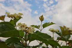 Fleurs d'un viburnum Image stock