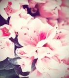 Fleurs d'une azalée Photo stock