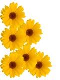 Fleurs d'une camomille avec les pétales jaunes images stock