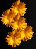 Fleurs d'une camomille avec les pétales jaunes image stock