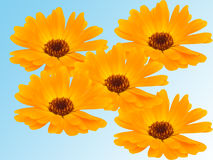 Fleurs d'une camomille avec les pétales jaunes photos libres de droits