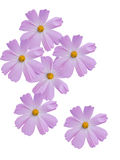 Fleurs d'une camomille avec les pétales violets photographie stock libre de droits
