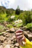 Fleurs d'une camomille dans une main à la fille Image stock