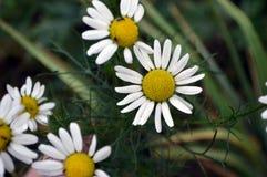 Fleurs d'une camomille Ils sont beaux dans leur simplicité images libres de droits