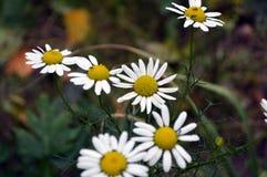 Fleurs d'une camomille Ils sont beaux dans leur simplicité photo libre de droits