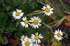 Fleurs d'une camomille Ils sont beaux dans leur simplicité photo stock