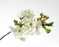 Fleurs d'une cerise. image stock