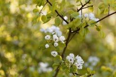 Fleurs d'une poire sauvage européenne Image stock