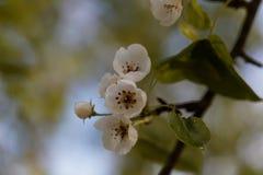Fleurs d'une poire sauvage européenne Images libres de droits