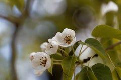 Fleurs d'une poire sauvage européenne Photo libre de droits