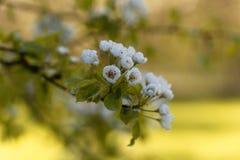 Fleurs d'une poire sauvage européenne Photographie stock