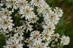 Fleurs d'une touffe de sucrerie dans le jardin photographie stock