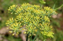 Fleurs d'usine d'anis [anisum de pimpinella] images stock