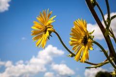 Fleurs d'usine de boussole Photographie stock