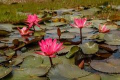 Fleurs d'usine de Waterlilly dans un petit étang Photographie stock libre de droits