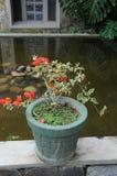 Fleurs dans des pots dans un hôtel sur l'île de la Ceylan Images libres de droits