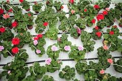 Fleurs dans des pots dans une crèche Photographie stock libre de droits