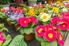 Fleurs dans des pots dans une ligne dans une maison verte Photographie stock libre de droits
