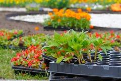 Fleurs dans des pots en plastique pour planter dans le lit de fleur Photographie stock libre de droits