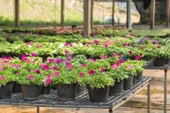 Fleurs dans des pots en vente dans la pépinière d'usines Image libre de droits