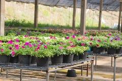 Fleurs dans des pots en vente dans la pépinière d'usines Image stock